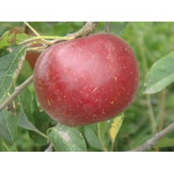 Cagette pomme garance 13kg...
